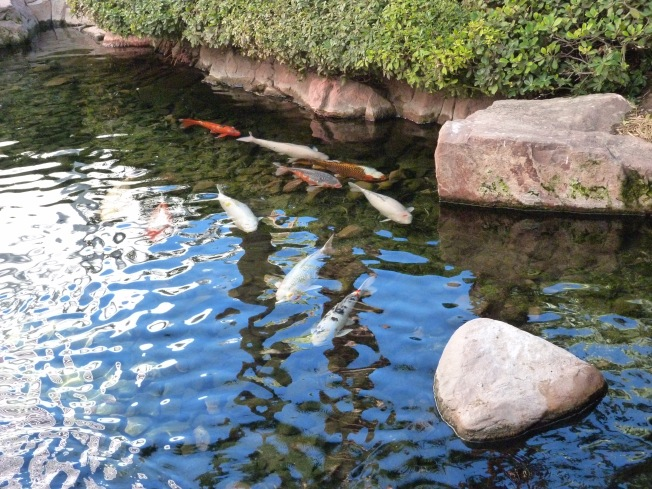 Koi Fish in Flamingo Hotel garden