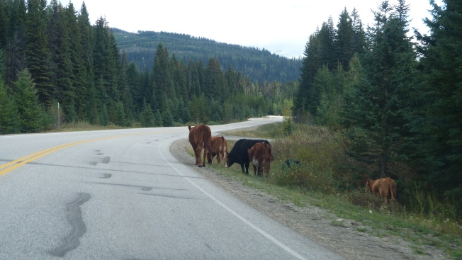 Cattle on HWY 3