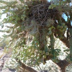 Chainfruit Cholla