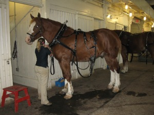 Clydesdale getting ready to pull the tram