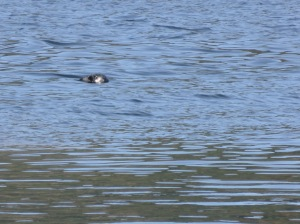 Seal fishing off wharf on Denman Island