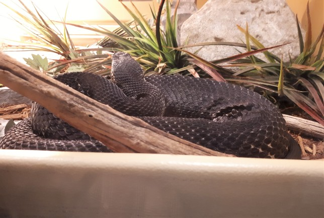 One of several snakes at the Reptile Zoo, Peterborough, Ontario